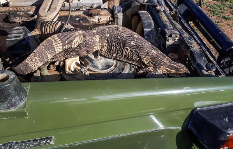 South African safari park ranger finds a huge rock monitor lizard in her car engine.