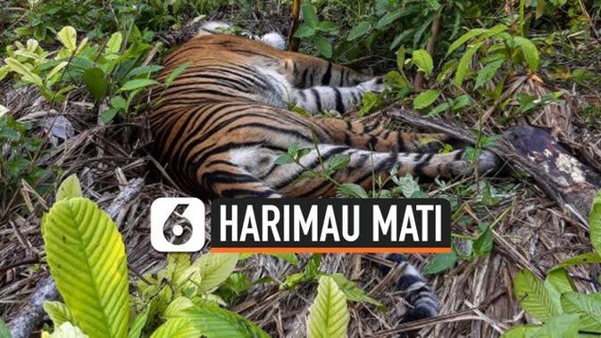VIDEO: Diduga Diracun, Harimau Sumatera Ditemukan Mati di Aceh