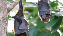 愛護牠也尊重牠——保持人與蝙蝠間的社交距離
