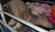 暗夜持槍獵水牛還衝撞警車 2賊落網無辜牛身中5槍慘死