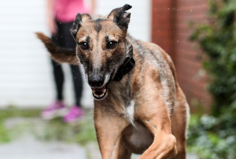Gary, a lurcher dog, is seen running. The dog has found a home after 578 days in RSPCA kennels. He held the record for the longest time without adoption.