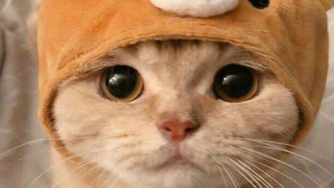 Kamu Wajib Tahu, Inilah 5 Jenis Kucing Terlucu