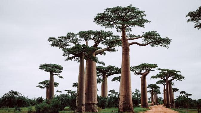 pohon baobab | unsplash.com/@themeinn