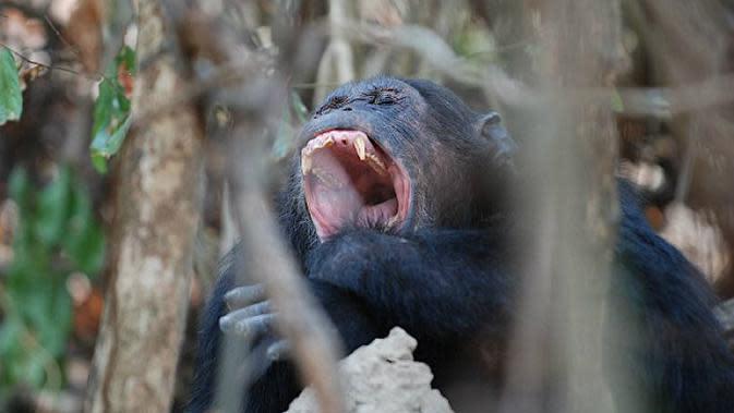 Ilustrasi simpanse menguap di Taman Nasional Mahale. (Sumber Flickr/nilsrinaldi)