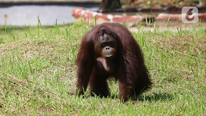 Orangutan yang menjadi salah satu penghuni Taman Margasatwa Ragunan terlihat di dalam kandangnya di Jakarta, Sabtu (20/6/2020). Ragunan mulai dibuka kembali untuk pengunjung pada Sabtu ini di masa PSBB transisi dengan pembatasan dan penerapan protokol kesehatan yang ketat. (Liputan6.com/Herman Zakha