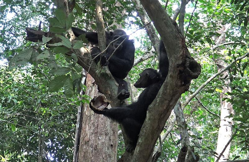 Chimpanzees eating tortoises in a tree.