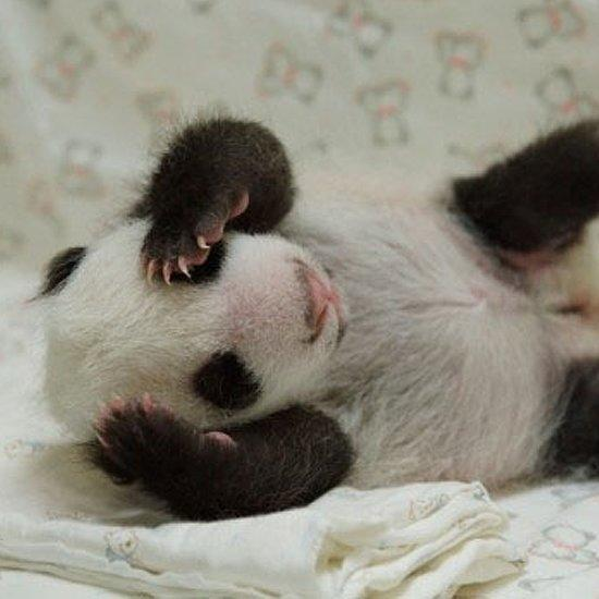 Baby Panda, Lion Dog, and More - the Crazy Cute Week in Animal News!