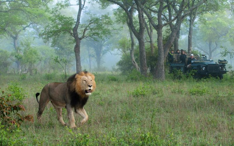 A lion in Kruger National Park - getty