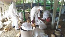 禽流感疫情再起 撲殺7595隻紅羽土雞