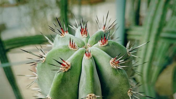 Kaktus (sumber: iStockphoto)