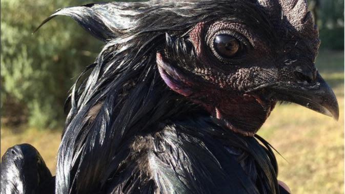 Berwarna hitam pekat, ayam cemani yang berasal dari Kedu, Jawa Tengah ini telah menarik masyarakat dunia dan di banderol dengan harga tinggi. (Foto: Instagram/darlingclandestine)
