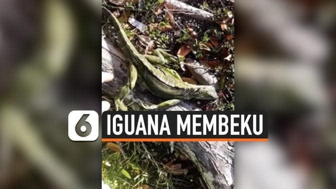 VIDEO: Cuaca Ekstrem, Iguana Membeku dan Berjatuhan dari Pohon