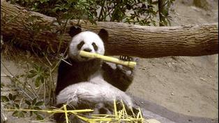 【過去現.在未來】大熊貓安安佳佳來港定居|1999年