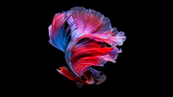 Manfaat Rambut Kemaluan Sampai Ikan Cupang Koi