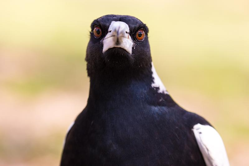Swooping magpie causes fatal bike crash