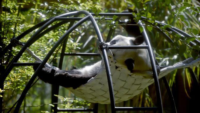 Xin Xin, panda raksasa wanita (Ailuropoda melanoleuca) beristirahat di kebun binatang Chapultepec, Mexico City (12/2/2020). Xin Xin dan Shuan Shuan merupakan dua spesimen Hewan yang lahir di Meksiko dan satu-satunya di dunia yang tidak dimiliki China. (AFP/Alfredo Estrella)