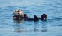 海獺環抱角鯊 交纏浮水面一幕震撼網