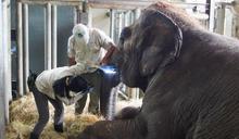 亞洲象「友愷」食慾低 北市動物園給予支持療法 (圖)