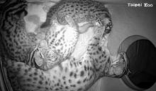 北市動物園石虎新生命 來看看牠們的名字吧