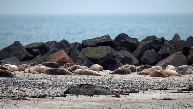 Puluhan anjing laut abu-abu terlihat di pantai Pulau Helgoland, Jerman, 5 Januari 2020. Sebanyak 524 anjing laut abu-abu tercatat lahir pada 13 November hingga 26 Desember 2019 di Pulau Helgoland. (John MACDOUGALL/AFP)