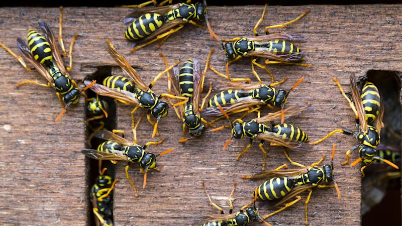 Wasps, close-up