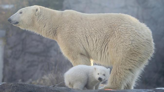 Bayi beruang kutub berjalan bersama induknya Nora saat penampilan publik pertamanya di Kebun Binatang Schoenbrunn, Wina, Austria, Kamis (13/2/2020). Anak beruang kutub yang tidak disebutkan namanya tersebut lahir pada 9 November 2019. (AP Photo/Ronald Zak)