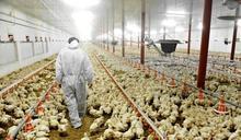 俄羅斯爆高致病性H5N8禽流感 食安中心停禽肉進口
