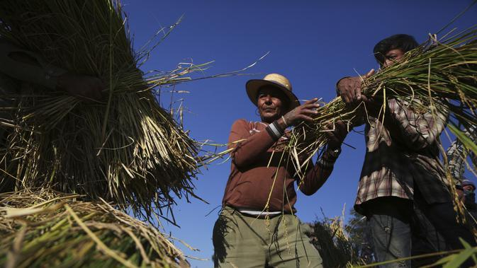 Dua petani Nepal memanen padi di Chaukot, di Distrik Kavre, Nepal (14/11/2019). Pertanian adalah sumber utama makanan, pendapatan, dan pekerjaan bagi mayoritas orang di Nepal. (AP Photo/Niranjan Shrestha)