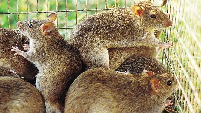 Ilustrasi tikus (CSIRO)