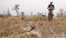 超強巨鼠獲動物勇氣獎 找出39枚地雷和28枚未爆彈!