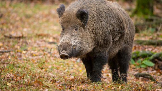 Babi Hutan Mengamuk, Bocah 9 Tahun di Bengkulu Terluka di Kepala