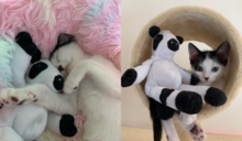 出生奶貓遭遺棄 獲救後超依戀「母牛娃娃」:是一家人~