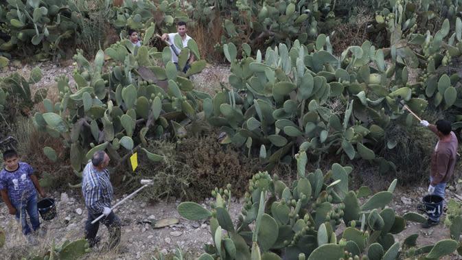 Para petani mengumpulkan buah pir berduri di Desa al-Simiya, dekat Kota Hebron, Tepi Barat, Palestina, Selasa (4/8/2020). (HAZEM BADER/AFP)