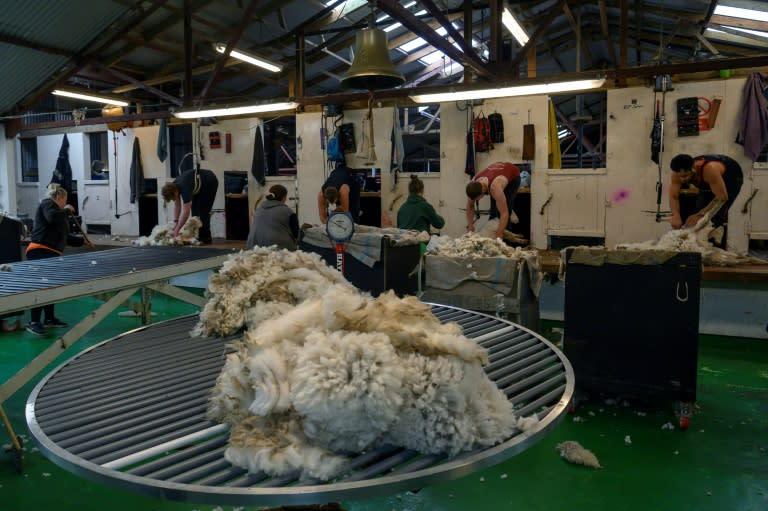 Goose Green farm on East Falkland island employs five sheep shearers