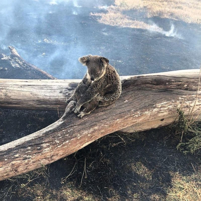 A mother koala and her joey cling to a large branch in the Gold Coast Hinterland where bushfires are burning.