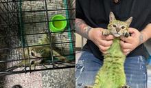 為解悶「把貓染綠」 台中團體搶救仍面臨心碎結局!