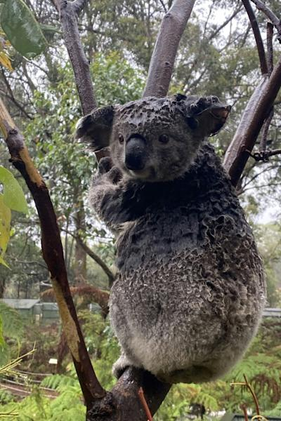 After months of being threatened by wildfires, Koalas on the east coast of New South Wales had to be rescued from floodwaters