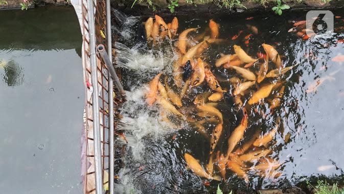 Ikan mas yang dibudidaya di sepanjang saluran air di Puri Pamulang, Tangerang Selatan, Minggu (13/8/2020). Saluran air atau selokan sepanjang 400 meter dimanfaatkan warga untuk budidaya ikan dan hiburan gratis bagi warga sekitar. (Liputan6.com/Fery Pradolo)