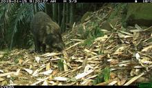 500台自動相機藏山林 揭開台灣黑熊、麝香貓、穿山甲等野生動物生活樣貌