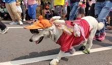 白沙屯最萌信眾!拉不拉多犬連6年陪媽祖走全程