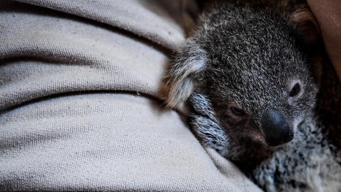 Seorang penjaga menggendong koala betina dewasa dengan bayinya yang berumur tujuh bulan di Kebun Binatang Lisbon, Lisbon, Portugal, 13 Februari 2020. Koala adalah sejenis hewan berkantung berasal dari Australia, memiliki waktu tidur sekitar 18 hingga 20 jam sehari. (PATRICIA DE MELO MOREIRA / AFP)