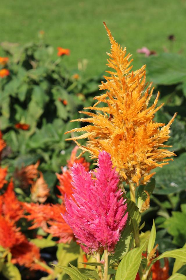 """<p>Also known as """"cockscomb"""", this flame-like flower will spice up any container or garden bed with it's bright yellow, pink, orange or red blooms.</p><p><strong>Zones: 1-13</strong><strong><br></strong></p>"""