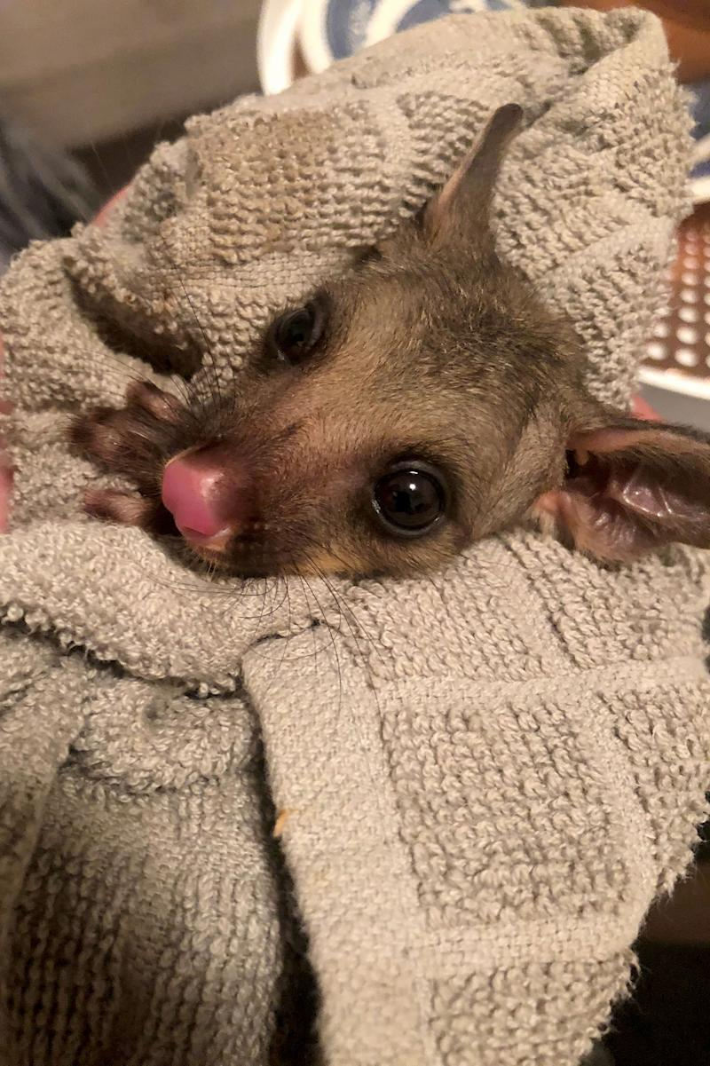 The possum was found on Friday