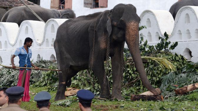 Gajah kurus bernama Tikiri berada di Kuil Gigi, Kandy, Sri Lanka, Selasa (13/8/2019). Setelah mendapat kecaman warganet, gajah yang seumur hidupnya dipaksa ikut berparade dalam festival kostum itu akhirnya ditarik pihak berwenang untuk beristirahat dan berobat. (LAKRUWAN WANNIARACHCHI/AFP)