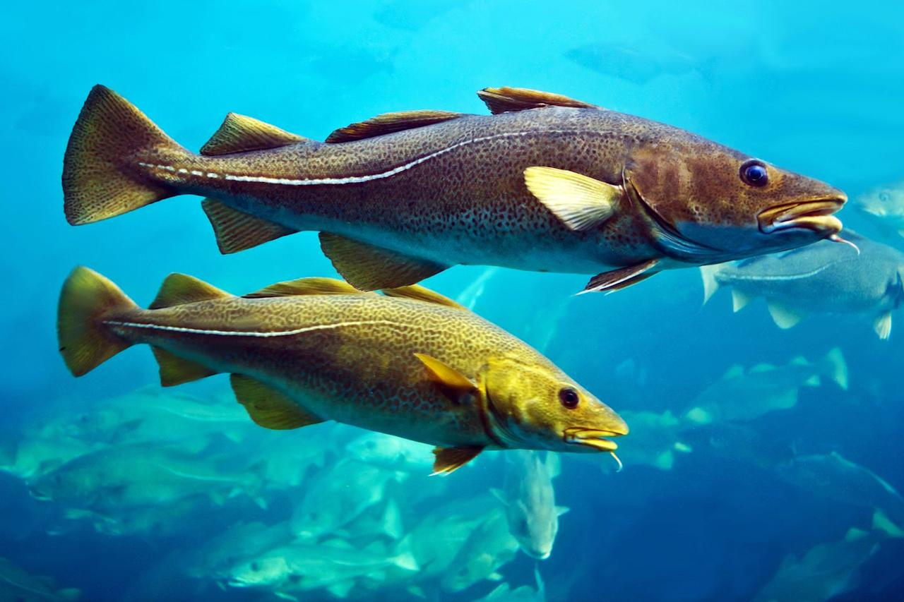 <p>Originally named Cape Cod because of the abundance of codfish by explorer Bartholomew Gosnold in 1602, today most of the codfish found in the Cape come from Iceland. Overfishing and environmental changes have caused the codfish to go scarce while environmental protection efforts are underway to restore these fishy natives.  </p>