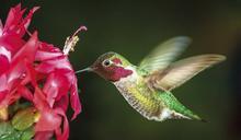 蜂鳥眼中有超「人」的斑斕世界