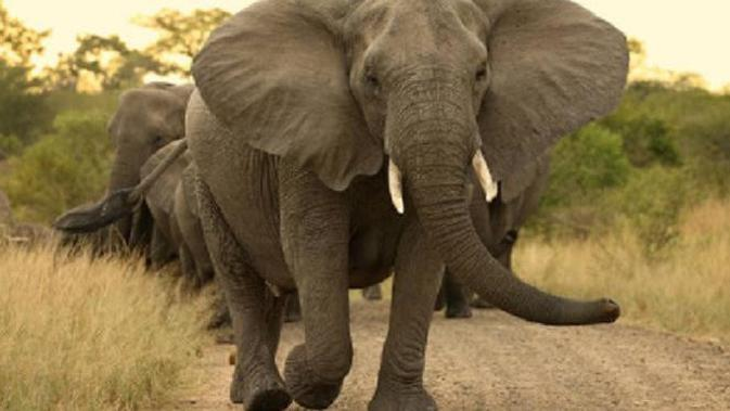 Ilustrasi Gajah (iStock)