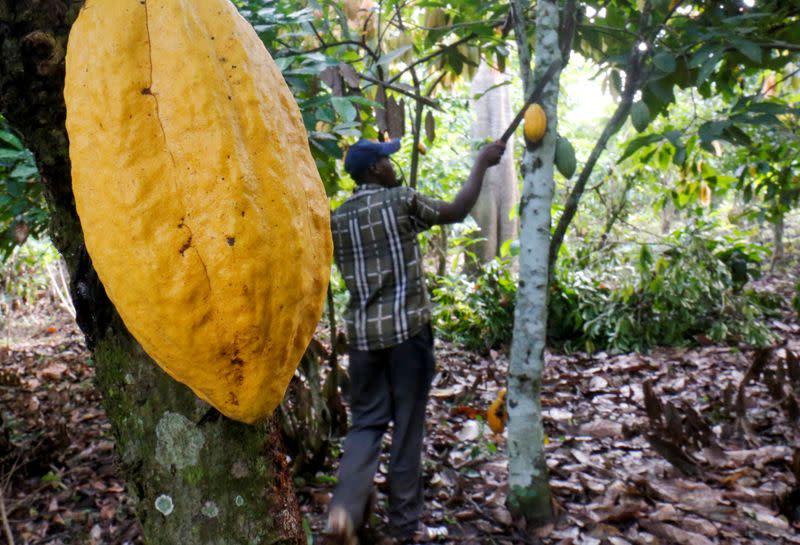 FILE PHOTO: A farmer works in a cocoa farm in Bobia, Gagnoa