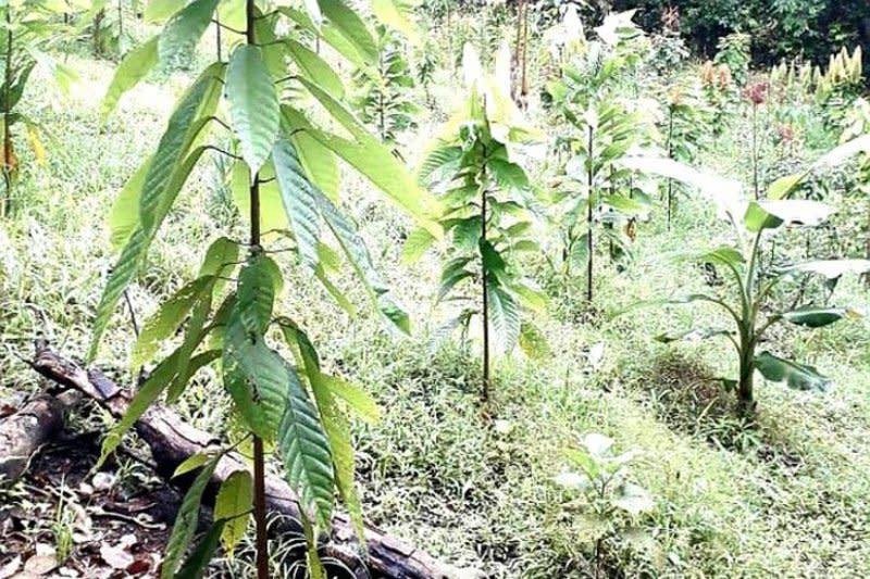 Barito Timur kembangkan tanaman kakao melalui diversifikasi