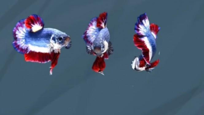 5 Ikan Cupang Termahal di Dunia, Harganya Bikin Melongo